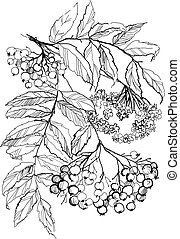 rowan branch drawing on white background