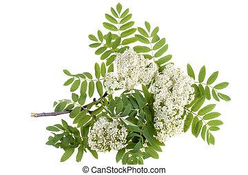 rowan, flores blancas
