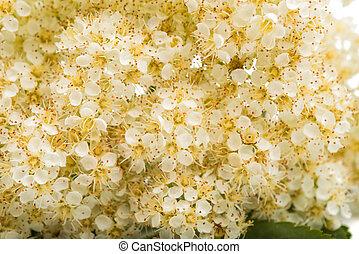 rowan, flores