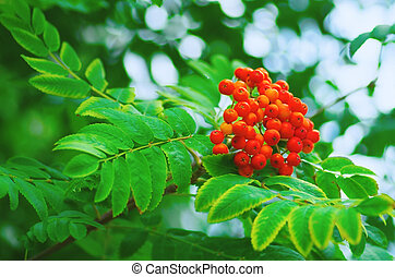 rowan growing on a tree