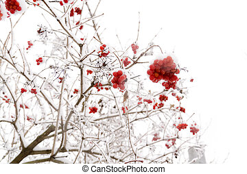 Rowan in the Snow - Branches of mountain ash, rowan tree in ...