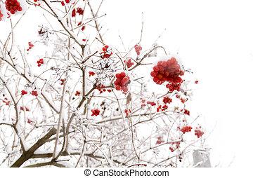 Rowan in the Snow - Branches of mountain ash, rowan tree in ...