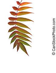 Rowan Leaf in Autumn - Rowan leaf in Autumn over white ...