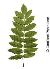 Rowan leaf - Rowan tree leaf isolated on white