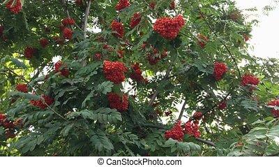 Rowan on a branch. Red rowan. Rowan berries on rowan tree.