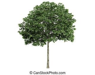 Rowan or Sorbus - Rowan or latin Sorbus isolated on white...