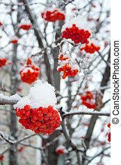 rowan, pokryty, śnieg