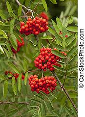 rowan red - decorative red fruit of a rowan tree