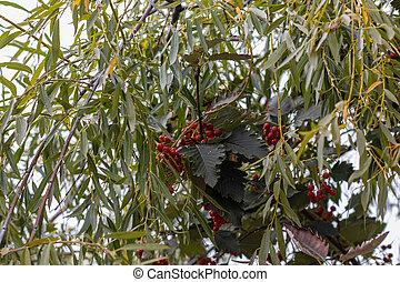 Rowan red-orange berries with willow leaves