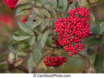 Rowan Tree Berries in a cluster on branch