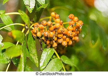 Rowan tree berries on a branch.