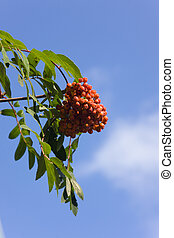 rowan-tree - Branch of a mountain ash with ripe berries ...