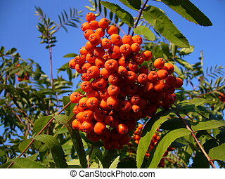 Rowan tree brunch with berries