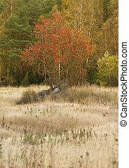 Rowan tree in a field in autumn