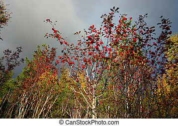 Rowan tree in autumn - Forest with rowan tree on sunny ...