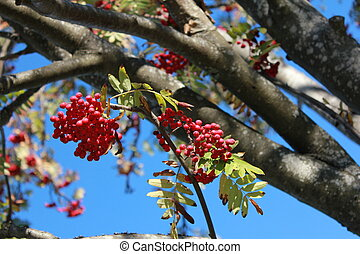Rowan Tree in Fall