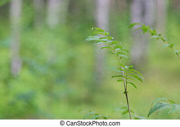 Rowan tree in forest - Twig of rowan tree in summer forest ...
