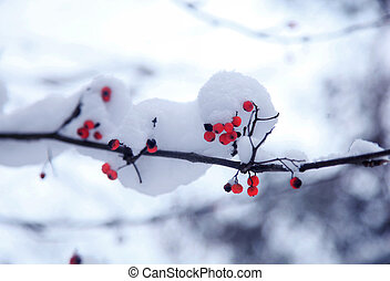 Rowan tree in the snow - Branch of rowan tree covered with ...