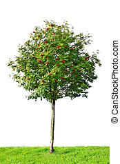 rowan tree isolated on white background