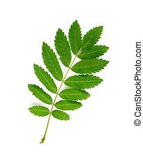 Rowan Tree Leaf - Green Rowan tree leaf on white background