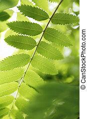 Rowan tree leaf in detail