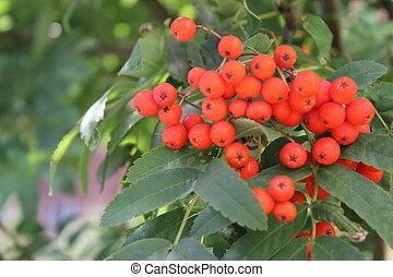 Rowan tree leaves with berries 18540