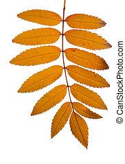 Rowan tree leaves - Yellow rowan tree branch isolated on the...