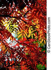 Rowan tree - lush foliage with leaves of rowan tree in ...