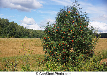 Rowan tree on a background of field