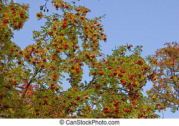 rowan-tree - the rowan tree with ashberry on sky background