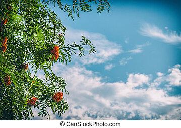 Rowan tree with berries on blue sky