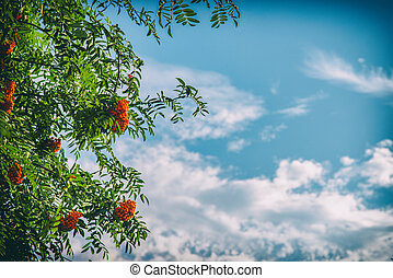 Rowan tree with berries on blue sky