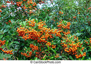 Rowan tree with berries on summer