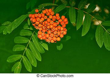 Rowan tree with full ripe berries.