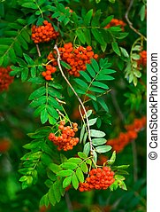 Rowan tree with leaves and bunches of rowan berries in autumn.