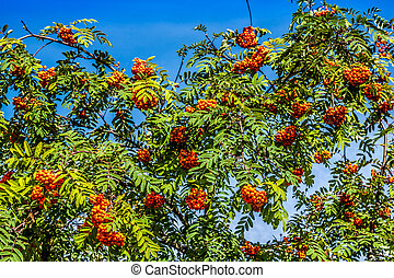 Rowan tree with red berries and leaves