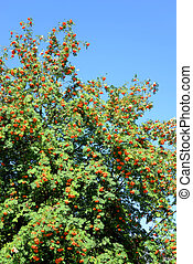 Rowan tree with red berries.