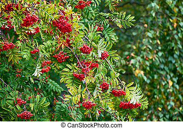 Rowan tree with red berry
