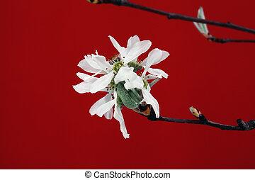 rowan white flower on red background