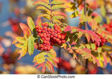 rowan with ripe berries