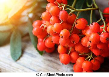 Rowanberries close up