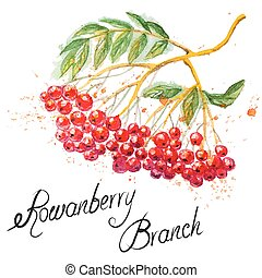 Rowanberry branch - Beautiful hand drawn watercolor branch...