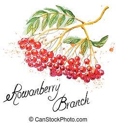 Rowanberry branch - Beautiful hand drawn watercolor branch...