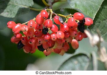 Rowanberry fruit