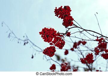 rowanberry on the tree, sky background