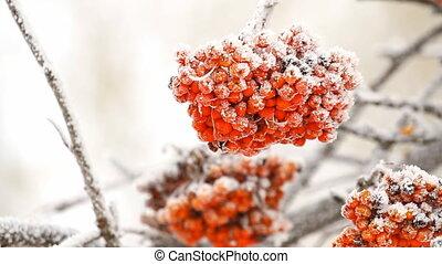 Rowanberry tree on the snow