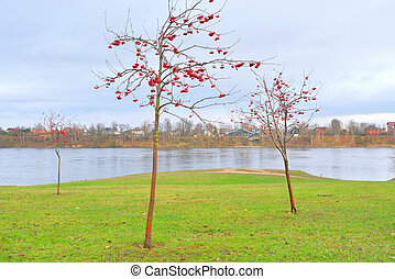 Rowanberry tree with red berries.