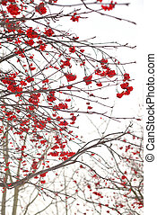 Rowanberry tree with red berries. - Rowanberry tree without...