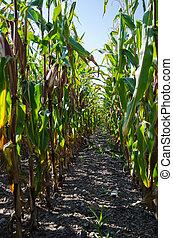 Rows in a corn field