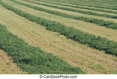 Rows of cut alfalfa hay in a field.